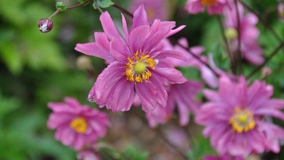 Herbstanemone (Sorte: Anemone tomentosa 'Albadura')