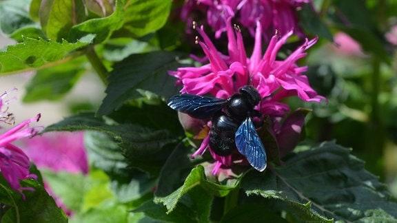Eine schwarze Holzbiene sitzt auf einer pinken Blüte