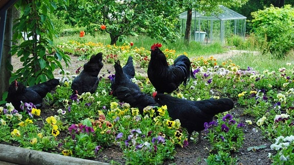 Hühner in einem Hochbeet im Garten