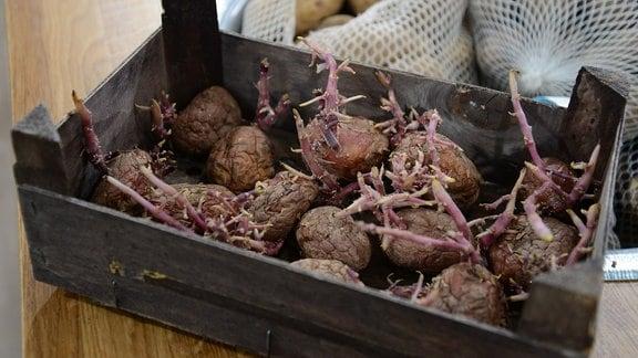 In einer Holzkiste liegen vorgekeimte Kartoffeln nebeneinander.