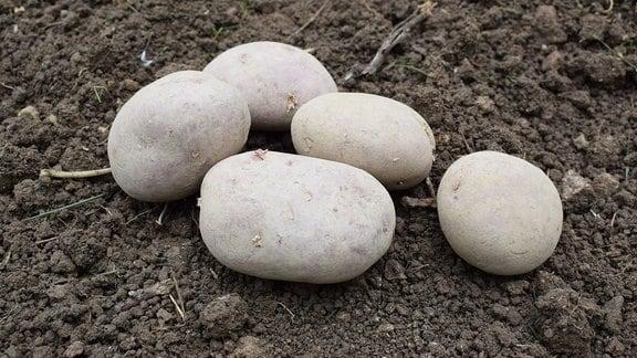 Fünf Kartoffeln der Sorte Laura.