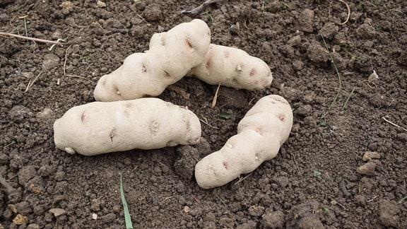 Vier Kartoffeln der Sorte UACH 0918.