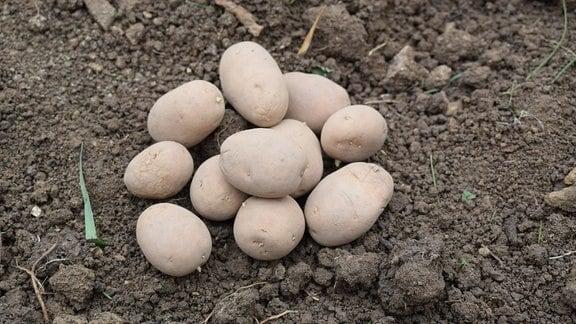 Einige Kartoffeln der Sorte Linda Rösti.