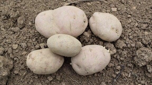 Fünf Kartoffeln der Sorte Roter Kuss.