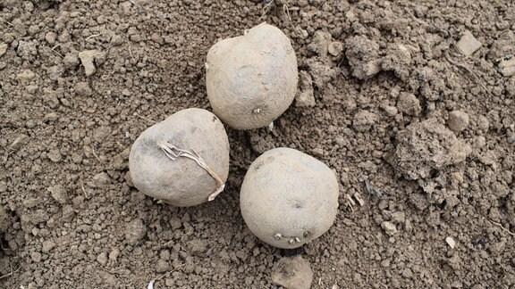 Drei Kartoffeln der Sorte Vogtländische Blaue.