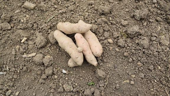 Einige Kartoffeln der Sorte Bamberger Hörnchen.