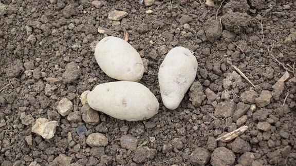 Drei Kartoffeln der Sorte König Albert.