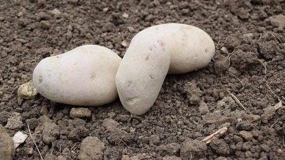 Drei Kartoffeln der Sorte Rioya.