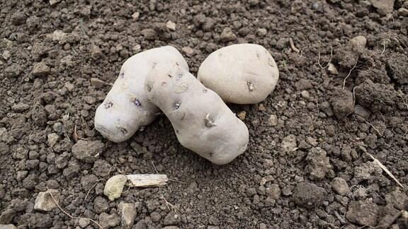 Drei Kartoffeln der Sorte Negra.