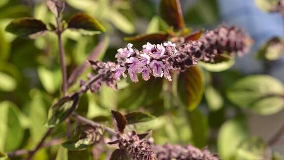 Dunkellaubiges Basilikum mit einer schönen, violetten Blüte.
