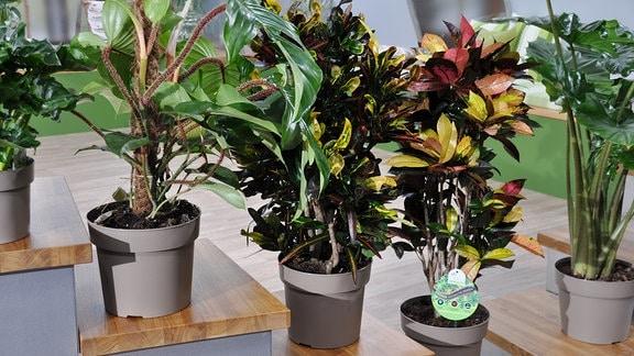 Drei Zimmerpflanzen (Baumfreund, Kroton) stehen nebeneinander auf einem Treppenpodest.