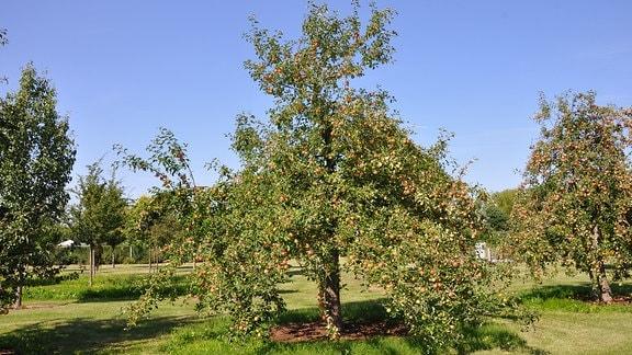 Ein großer Baum mit grünen Blättern steht auf einer Plantage mit vielen anderen Bäumen.