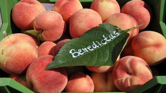 In einer grünen Obstkiste liegen orange-gelbe Pfiriche. Darauf liegt ein grünes Laubblatt auf dem steht: Benedictus.