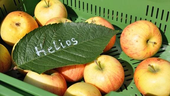 In einer grünen Obstkiste liegen vereinzelte Äpfel mit einem grünen Laubblatt. Darauf steht: Helios.