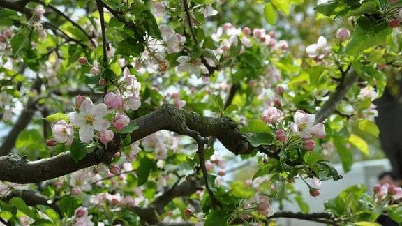 Blick in eine Baumkrone mit dicken Ästen und rosa-weißen Blüten.