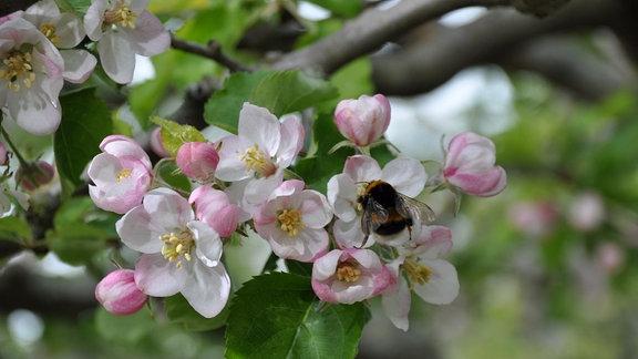 Nahaufnahme von rosa-weißen Blüten. Eine Hummel sitzt auf einer der Blüten.