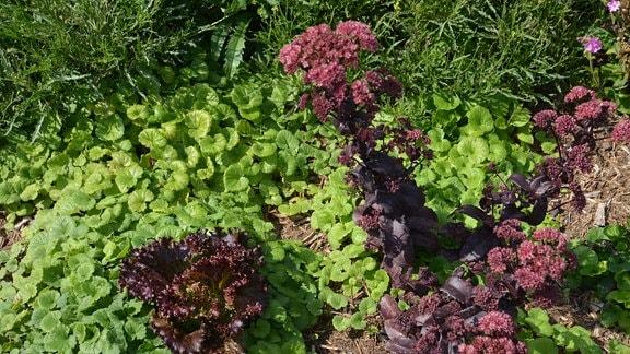 Ein Salat wächst mitten in einem Bodendecker