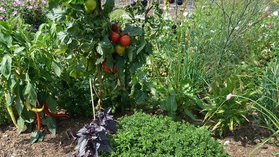 Peperoni, Tomate und Kräuter wachsen auf einem Beet