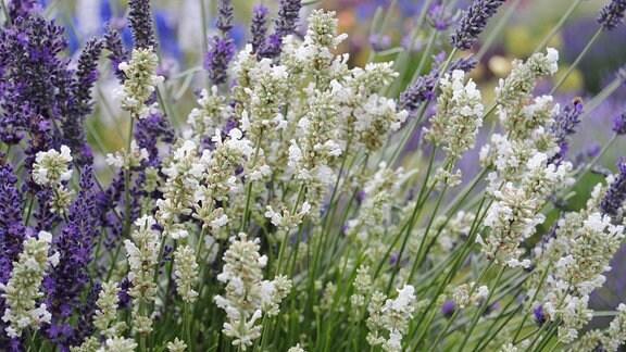 Weiße, zum Teil geöffnete Blüten an einer Lavendel-Pflanze
