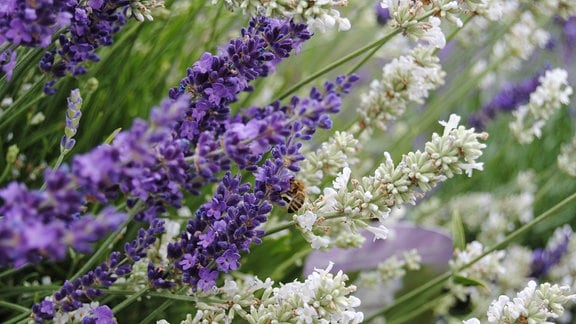 Weiß und lila blühender Lavendel mit einer Biene