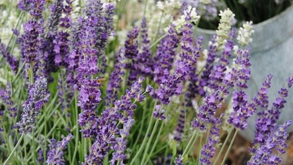 Violette, zum Teil geöffnete Blüten an einer Lavendel-Pflanze