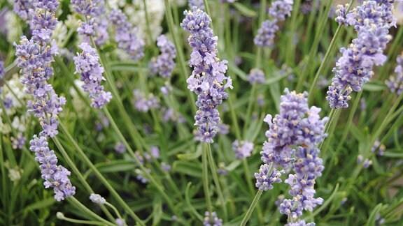 Lavendel mit fliederfarbenen Blüten