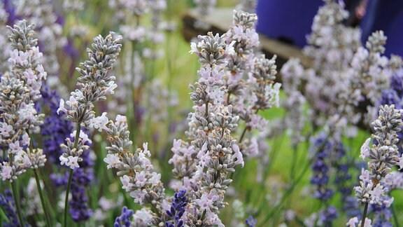 Lavendel mit hellrosa Blüten