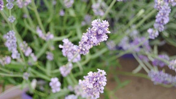 Lavendel mit Blüten in hellem Lila