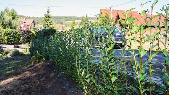 Frisch in einer Reihe gepflanzte Liguster-Sträucher
