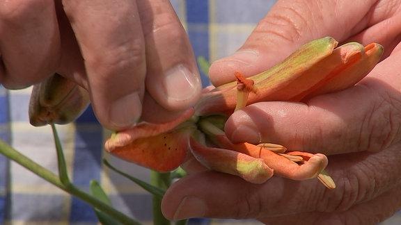 Stempel einer Lilie wird von Hand bestäubt.