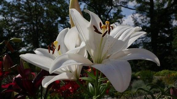 Weiße Blüte der Lilie 'Bright Diamond'