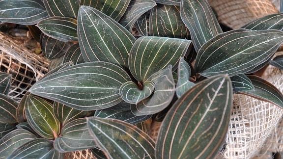 Orchideen Ludisia-discolor
