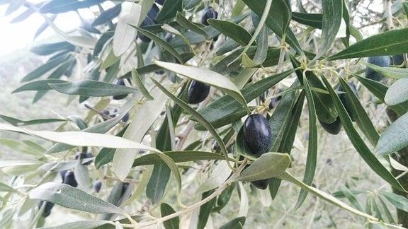 An einem Baum hängende, schwarze Olive.