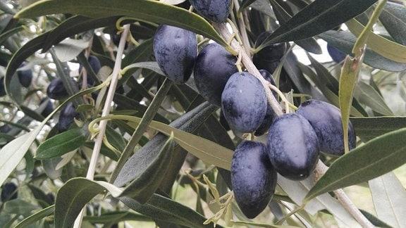 Mehrere schwarze Oliven an einem Zweig.