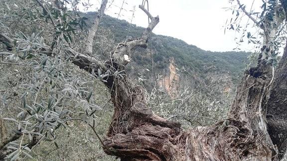 Knorrig-verdrehter Stamm eines Olivenbaums