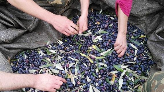 Oliven werden von Hand sortiert.
