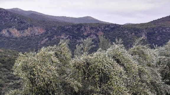 Ein Olivenbaum vor Bergkulisse.