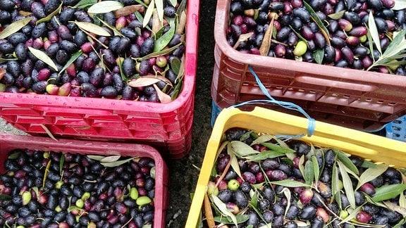 Geerntete Oliven in bunten Plastik-Tragekisten.