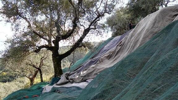 Unter einem Olivenbaum sind Netze ausgelegt.