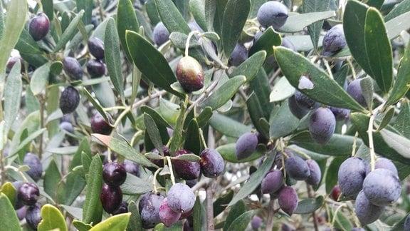 An einem Olivenbaum hängende, reife Oliven.