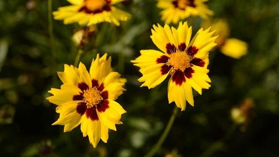 Gelb blühende Blüten des Mädchenauges