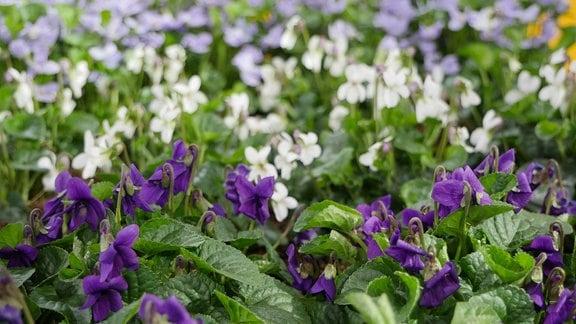 Märzveilchen mit Blüten in lila, weiß und violett - die lilanen im Vordergrund sind eine Wildform.