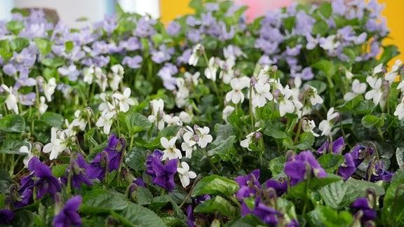 Märzveilchen mit Blüten in lila, weiß und violett - die weißen in der Bildmitte heißen 'alba'