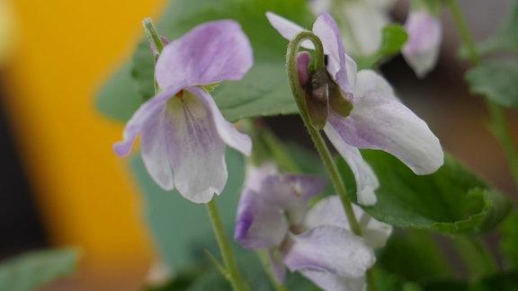 Einzelne Märzveilchen-Blüten in Weiß mit Rosaanteilen.