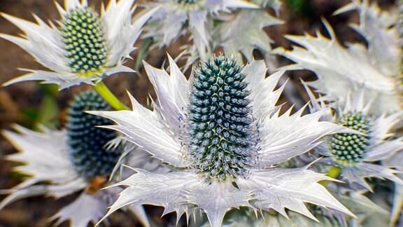 Bizarre, silbrig-blaue Blüten einer Mannstreu-Distel.