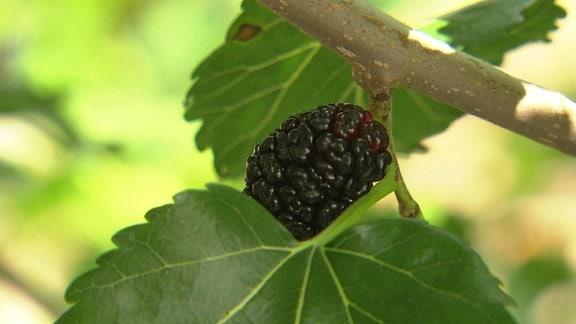 Schwarze Maulbeer-Frucht am Ast eines Baumes