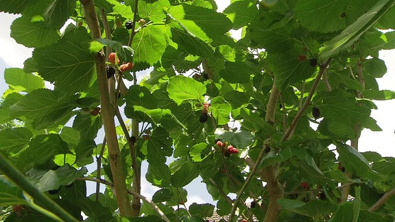 Hellrote und schwarze Maulbeer-Früchte an einem Maulbeerbaum mit großen, grünen Blättern
