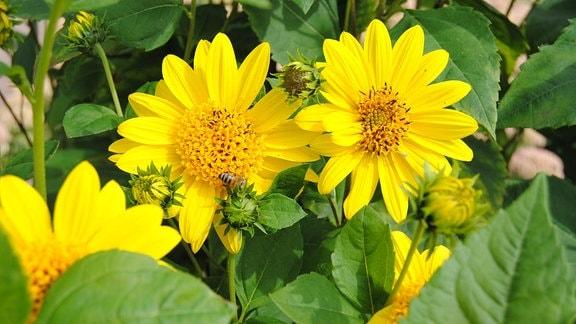 Zwei gelbe Blüten einer Stauden-Sonnenblume der Sorte Meteor