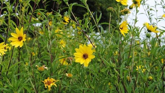 Hellgelbe Blüten von Stauden-Sonnenblumen der Sorte Lemon Queen