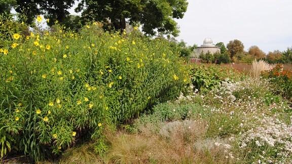 In einem Beet im Egapark Erfurt wachsen mehrere Stauden-Sonnenblumen der Sorte Lemon Queen
